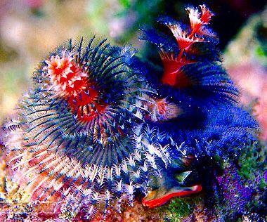 Christmas Tree Worms Coral Pinterest