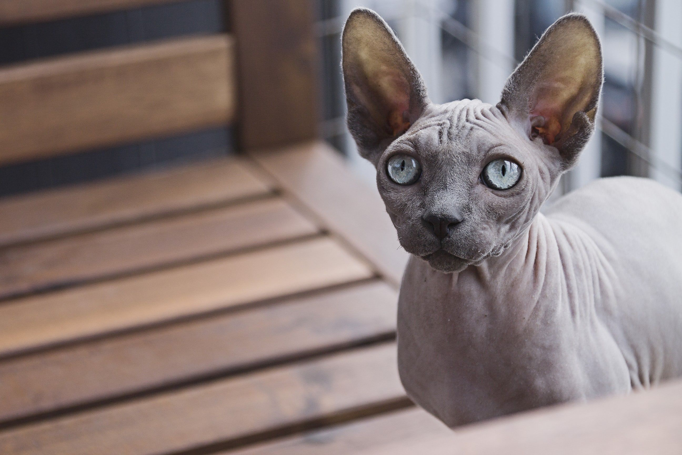 Close Up Of A Blue Eyed Hairless Sphynx Cat Cute Cats Hairless Cat Cat Breeds