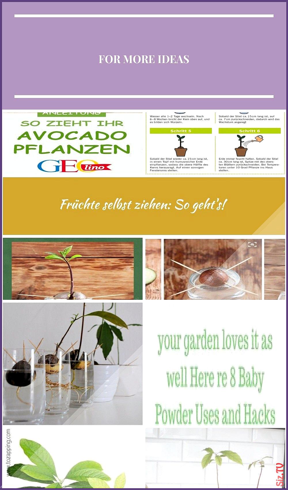 Mit ein wenig Fingerspitzengef hl und Geduld k nnt ihr eine Avocado-Pflanze selbst ziehen Auf GEOLI