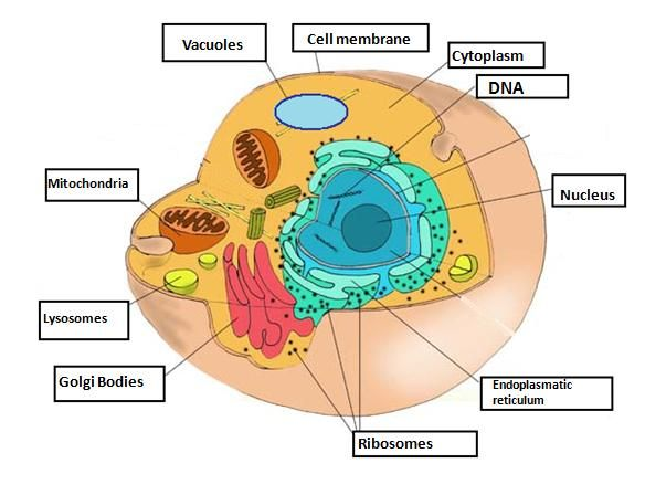 Diagram Of A Cell Human Cell Diagram Cell Diagram Cell Structure