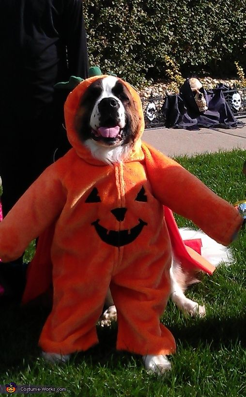 St Bernard Pumpkin Halloween Costume Contest At Costume Works