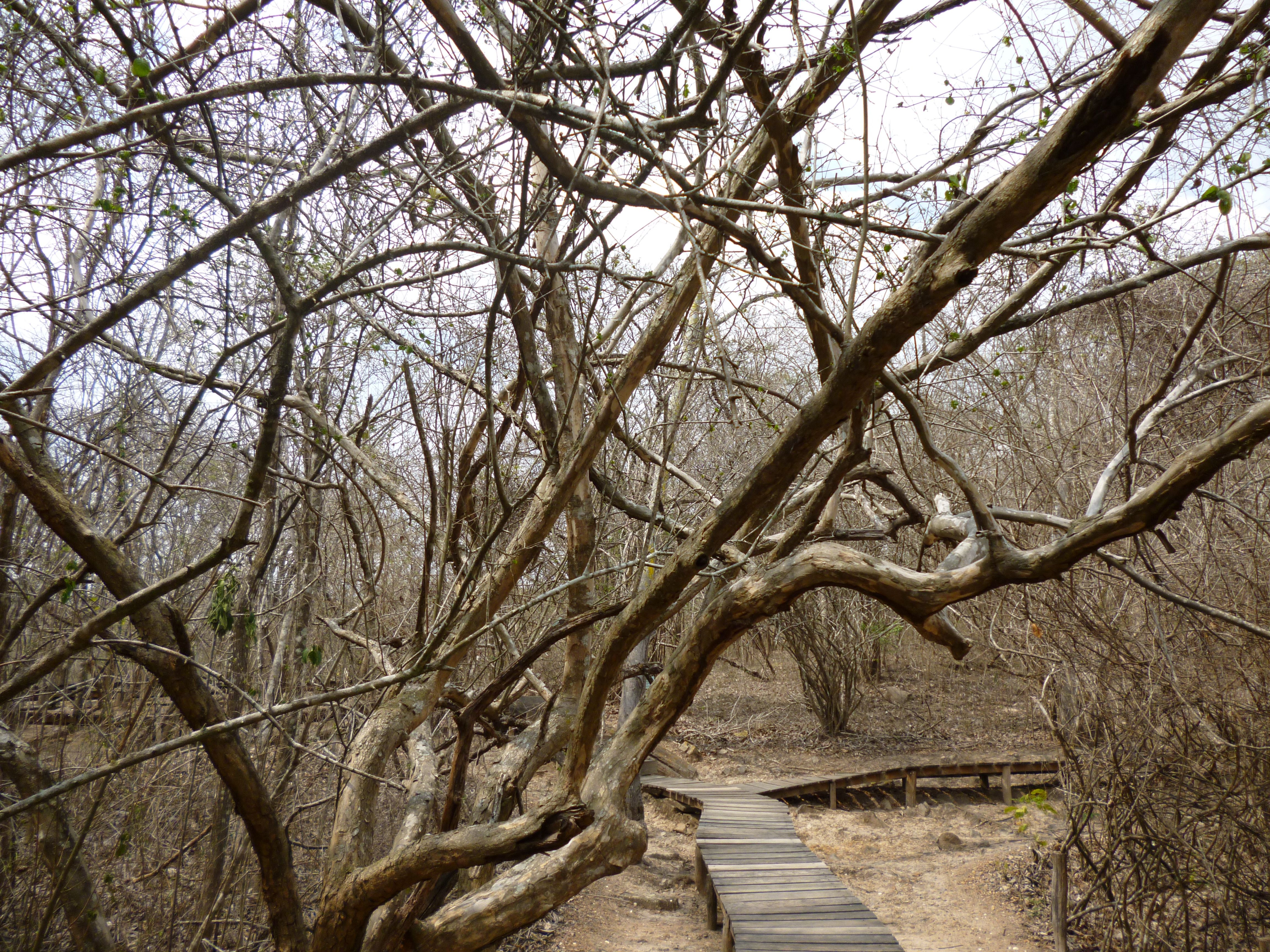 To protect the delicate ecology, the Puyango forest floor is laced with raised boardwalks.