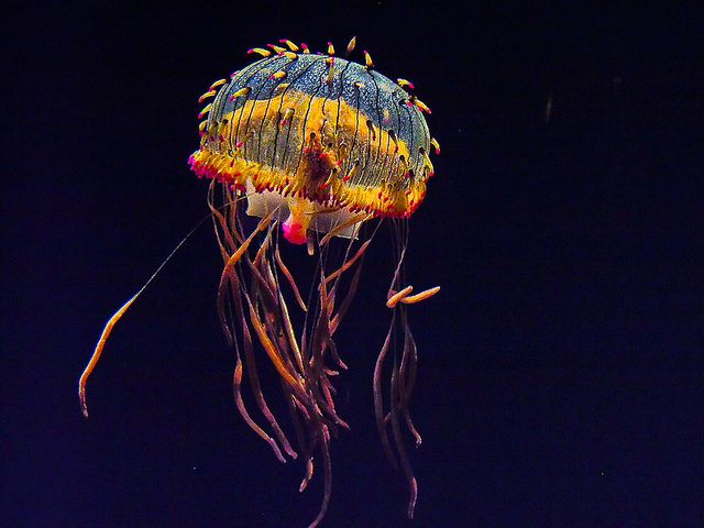 """This jelly is rightly described as looking like a """"Tiffany Lamp."""" #MontereyBayAquarium"""