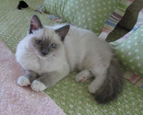 Ragdoll Cat Lilly Ragdoll Cat Cattery Ragdoll