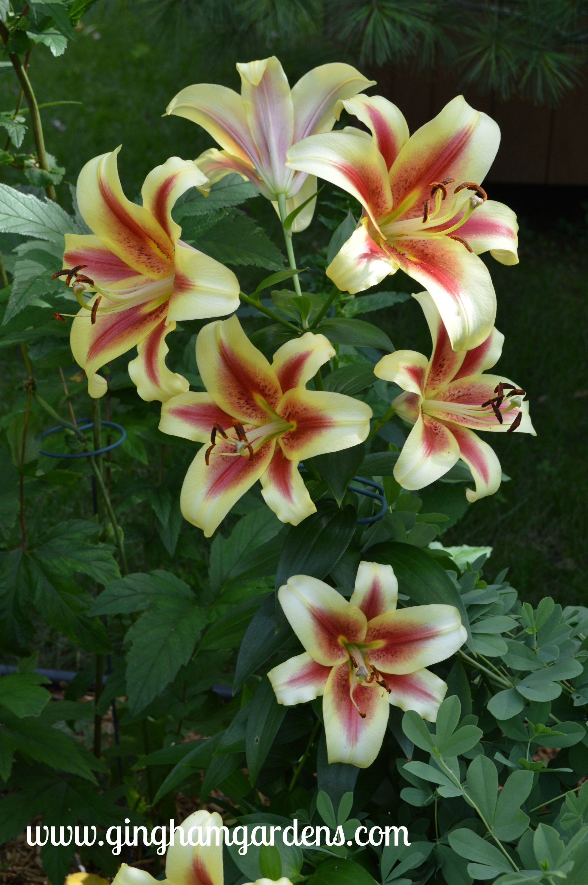 How To Grow Care For Lilies Flowers Most Beautiful Flowers
