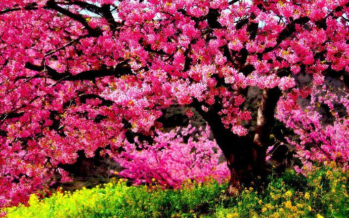Blossomed Tree Blossom Trees Tree Wallpaper Tree