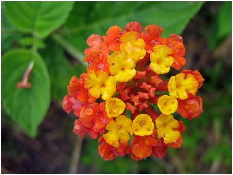 St maartenst martin national flower is the lantana also known as st maartenst martin national flower is the lantana also known as yellow sage mightylinksfo