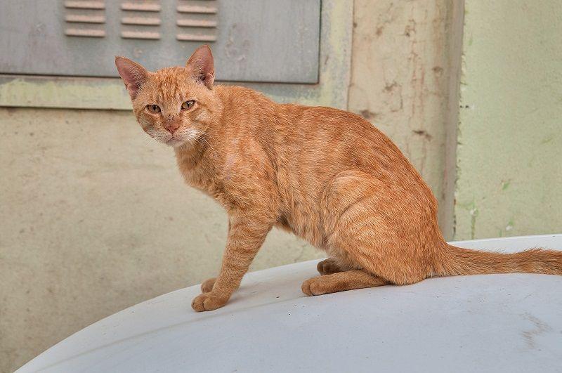 Arabian Mau Cat Cats Arabians World Cat
