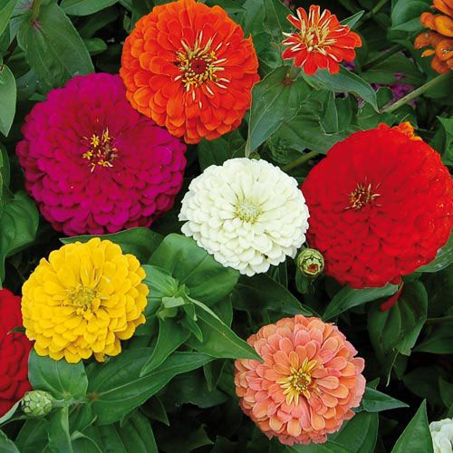 100pcs Zinnia Elegans Seeds Mix-colors Youth-and-Old-Age Flower Seeds Bonsai