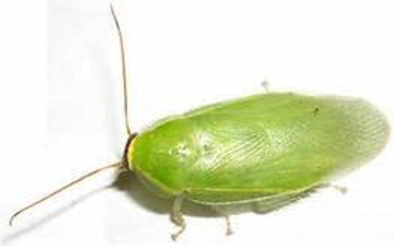 зеленый таракан фото высококачественная печать