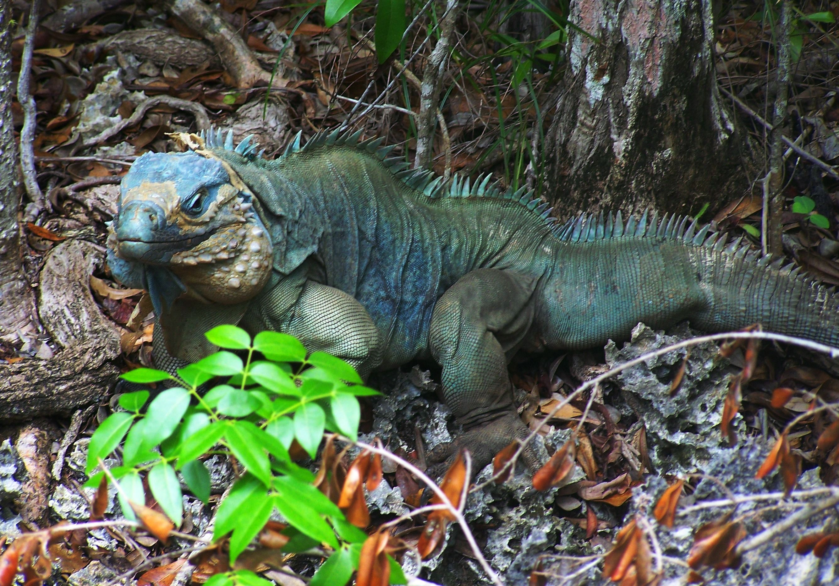 The Blue Iguana Or Grand Cayman Cyclura Lewisi Is An Endangered Species Of