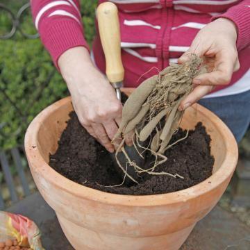 dahlien im topf pflanz und pflegetipps f r eine reiche bl te garten pinterest pflanzen. Black Bedroom Furniture Sets. Home Design Ideas