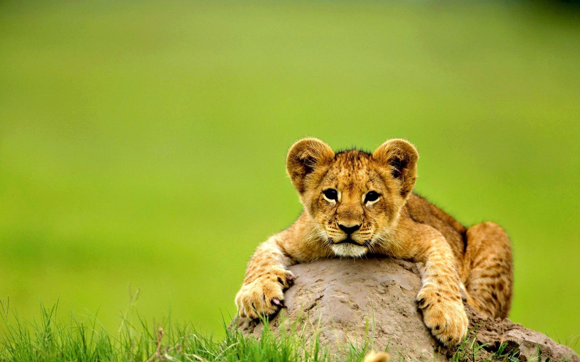Baby Lion Wallpaper For Desktop Laptop And Mobile In High