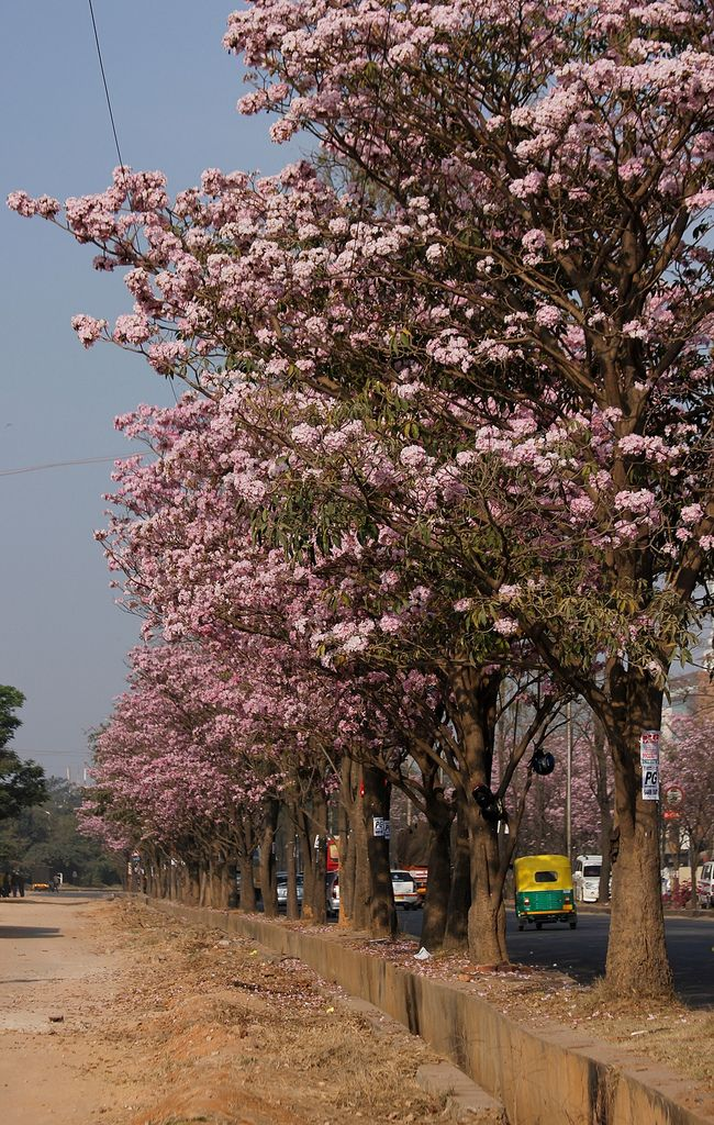 Pink Trees Amazing Urban Tree Pink Trees Beautiful Places To Visit