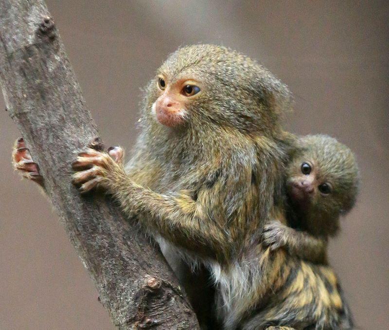 Cool Critters Pygmy Marmoset Cebuella Pygmaea The Pygmy Marmoset Is A Small New World Monkey Native To Rainforests Of The Western Amaz 霊長類 動物 かわいい 可愛い 生き物