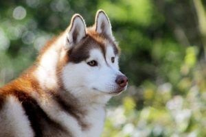 Siberian Husky Dogs 101 Everything You Need To Know Animal