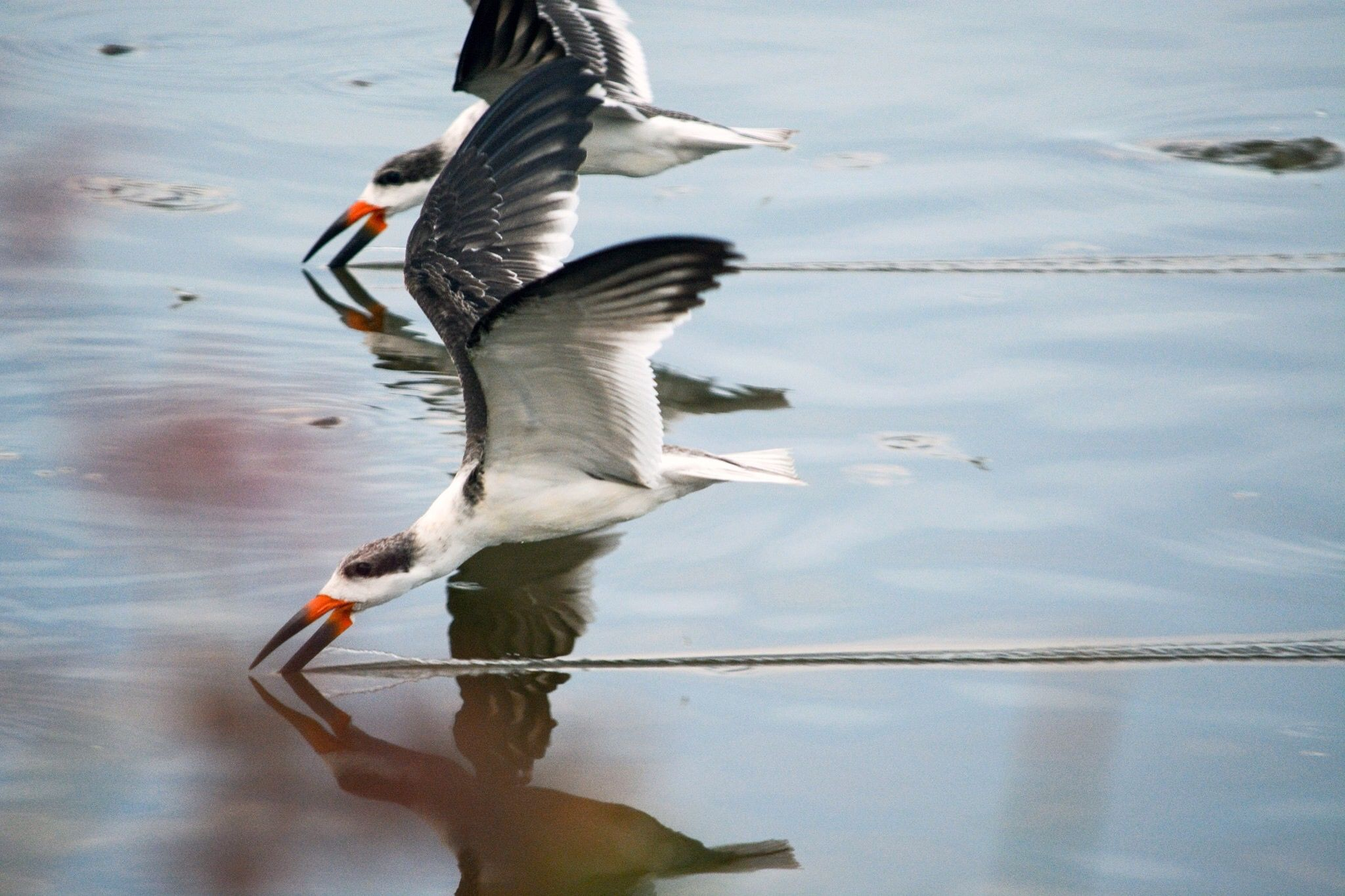 Black skimmers fishing at Huntington Beach State Park, SC