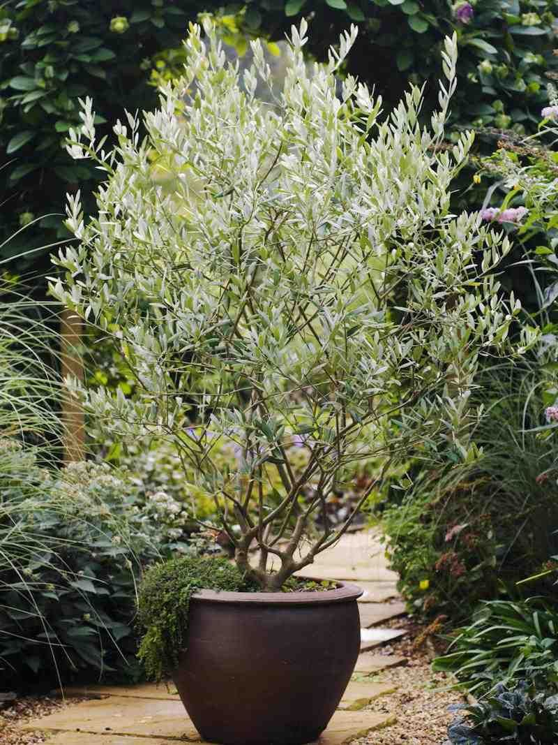 Olea europaea Potted plants outdoor, Potted olive tree