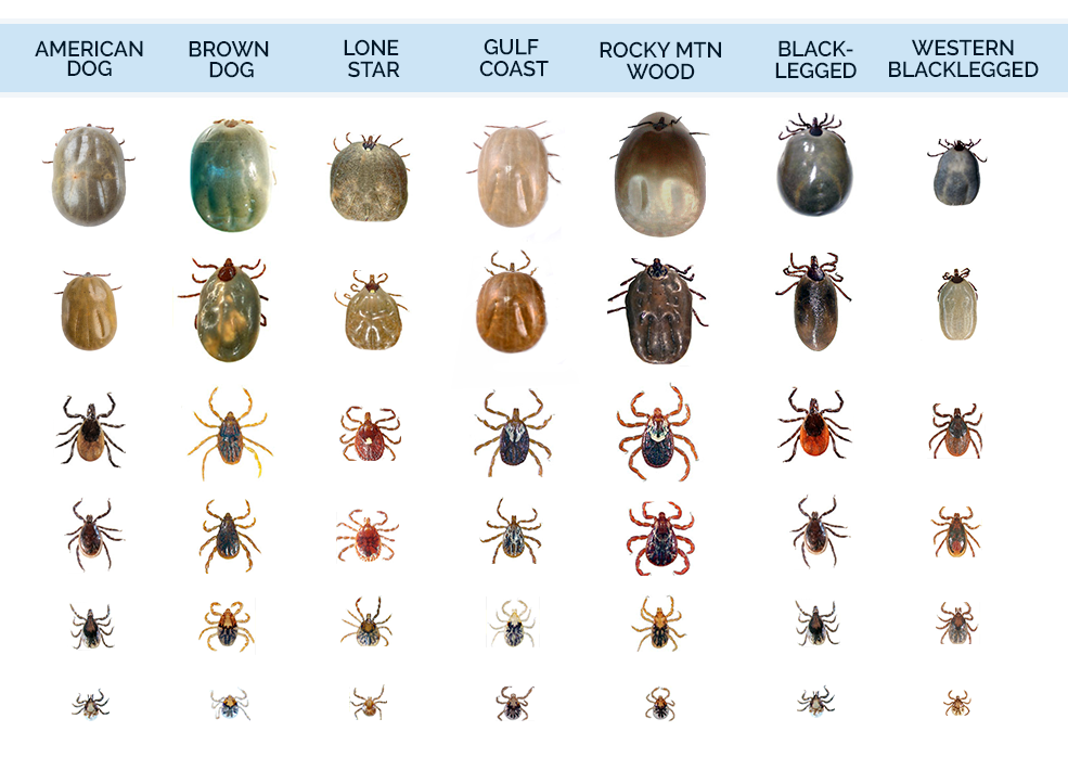 The Most Problematic Different Types Of Ticks Found In The United States Tick Bites On Dogs Types Of Ticks Ticks