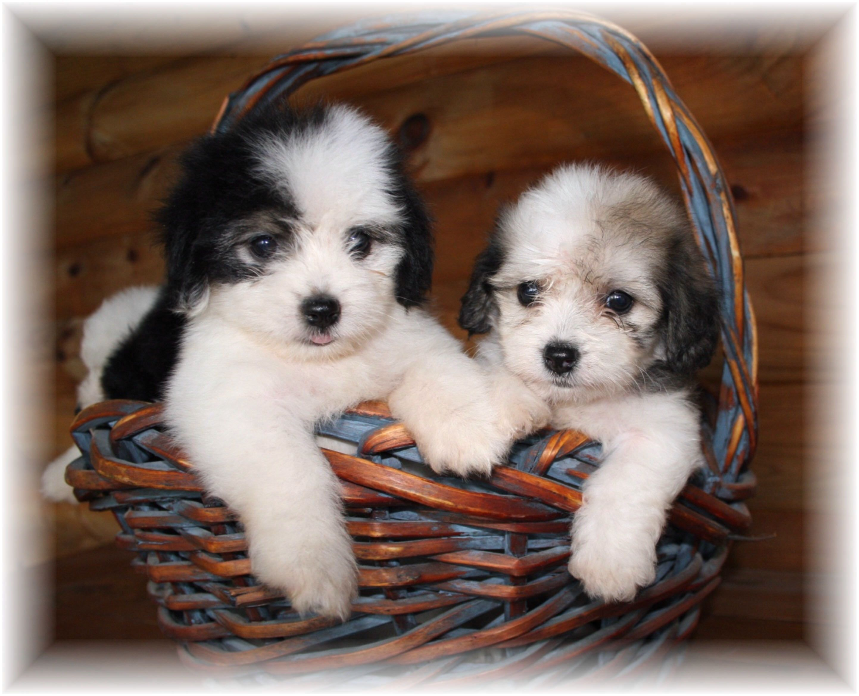 Too cute Havanese puppies Havanese Pinterest