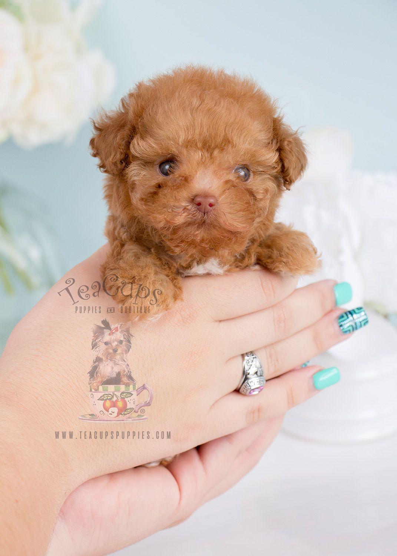 Tiny Teacup Poodle Puppy Tinyteacuppoodle Teacuppoodle Poodle