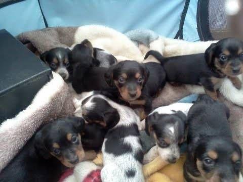 Mini Dachshund Beagle Mix Puppies Adorable Beagle Mix Puppies
