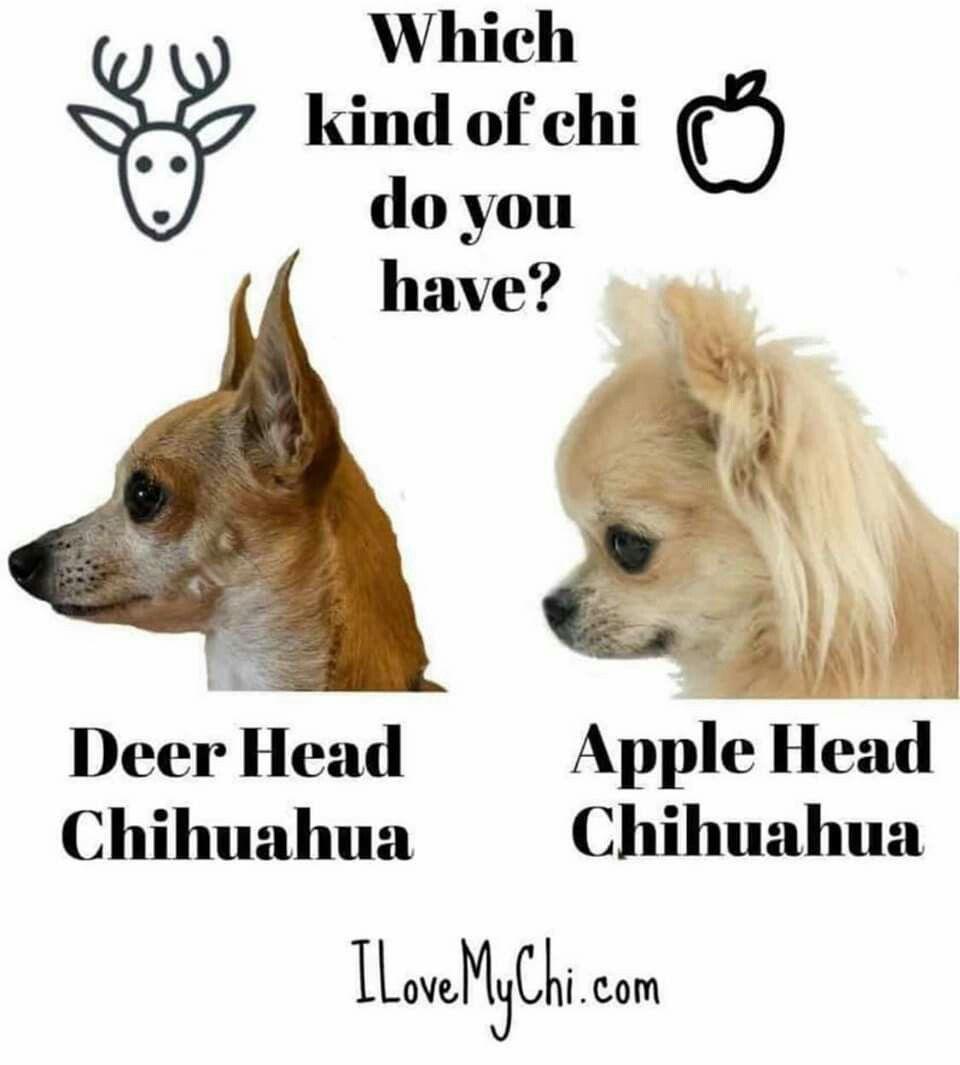 Pin By Joyce Johnson On Chihuahua Chihuahua Dogs Baby Chihuahua