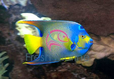Queen Angel Holacanthus Ciliaris Buy Cheap Queen Angel Fish At Wholesale Angel Fish Saltwater Fish Tanks Saltwater Angelfish