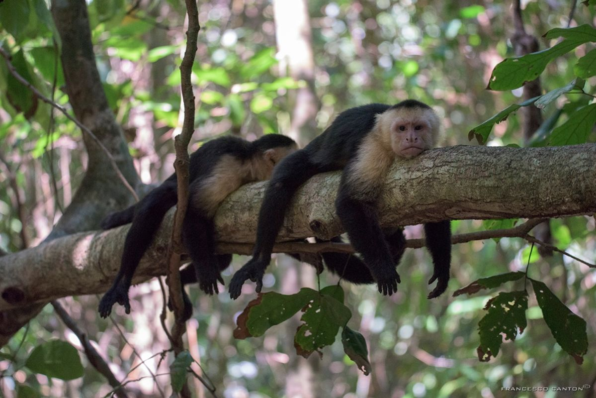 scimmie capuchino a riposo