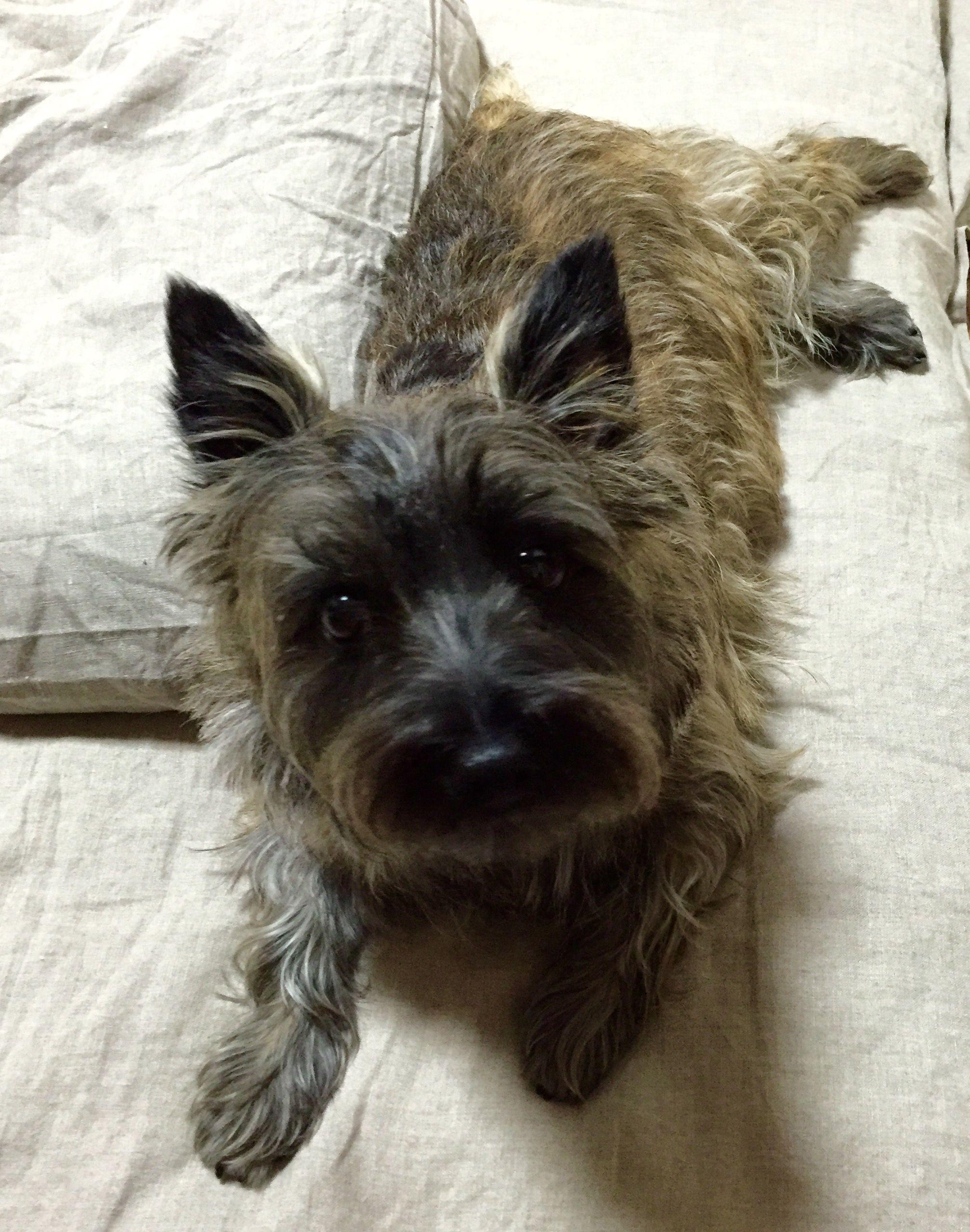 My Little Dog A Heartbeat At My Feet Edith Wharton Cairn Terrier Puppies Dog Breeds Terrier Puppies