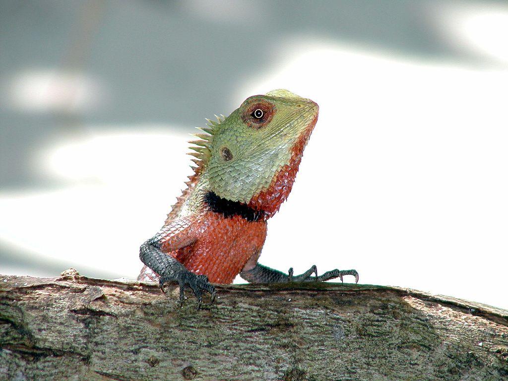 Schoenechse Oriental garden lizard Wikipedia Lizard