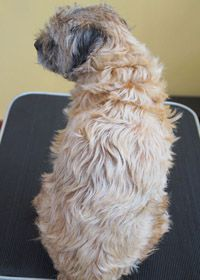 Photo Of Border Terrier With Clipped Coat With Images Border