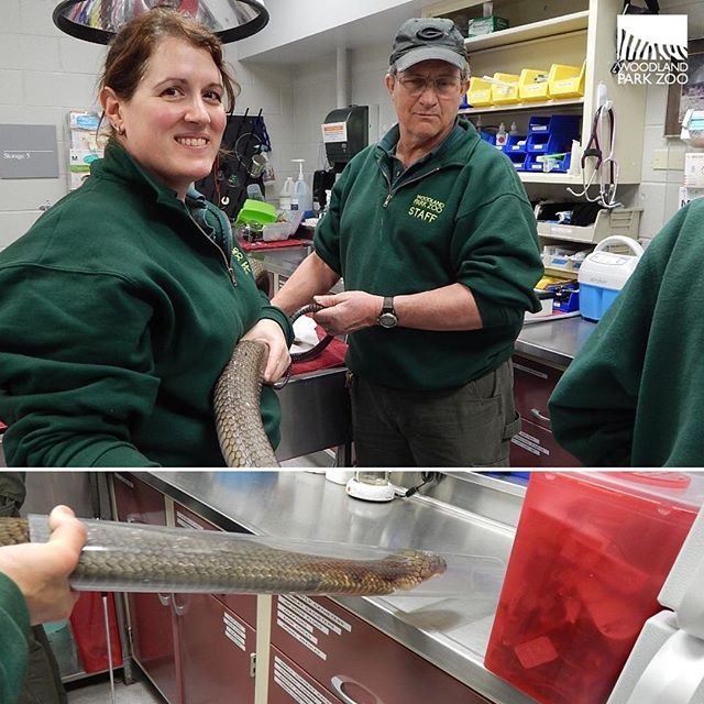 How Do You Take A Venomous King Cobra To See The Vet With The Help Of A Snake Tube Keepers Maneuvered The 11 Foot Long Pet Health Checkup Woodland Park Zoo
