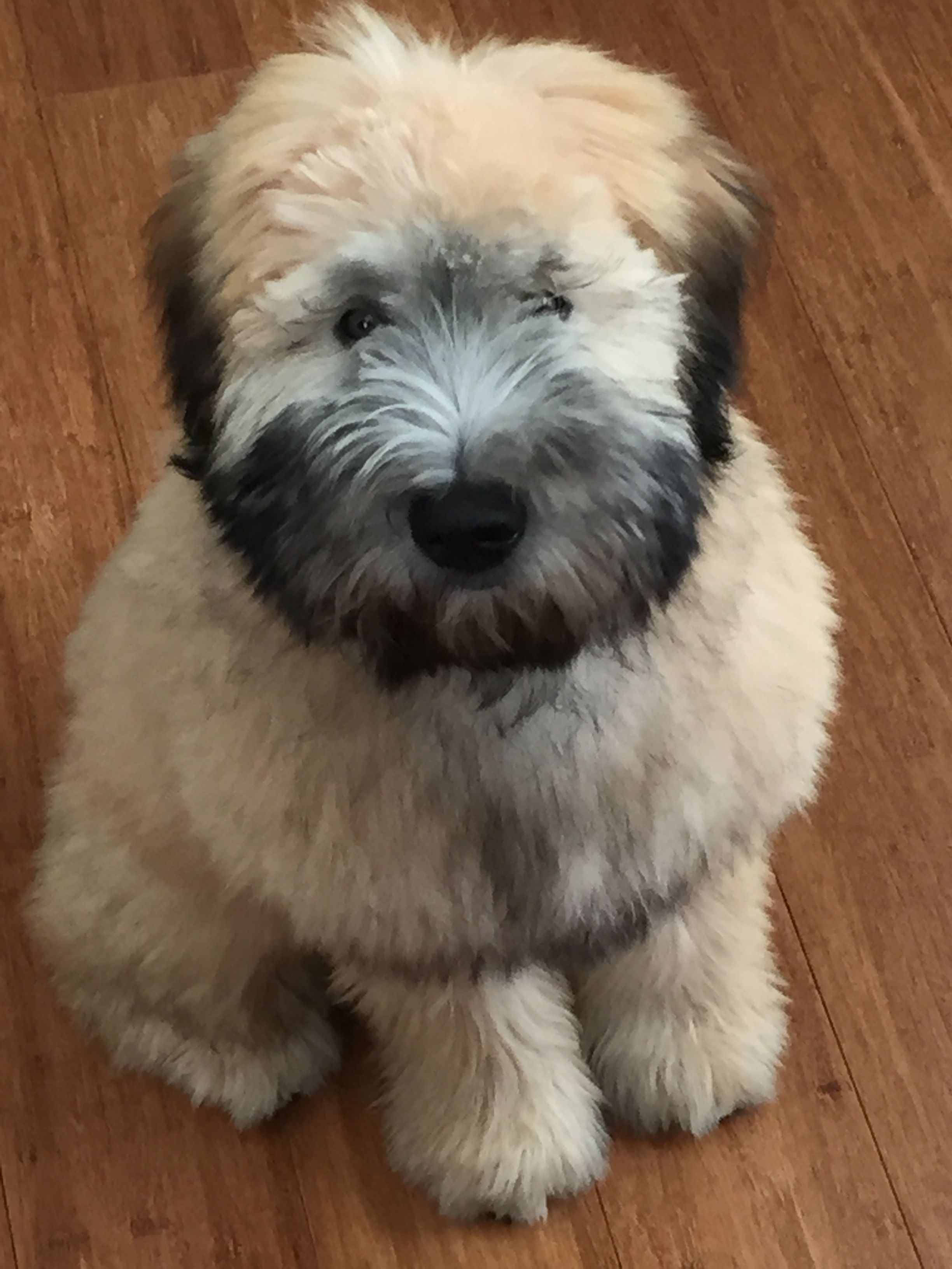 Our 5 Month Old Puppy Zilla Soft Coated Wheaten Terrier Carin Terrier Puppies Wheaten Terrier Puppy Wheaton Terrier