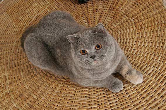 Sie Sehen Aus Wie Ein Grosses Kuscheltier Britisch Kurzhaar Schone Katze Katzenrassen