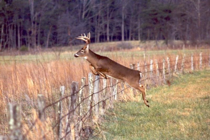Big buck jumping fence hunting pinterest fences big and wildlife big buck jumping fence voltagebd Images