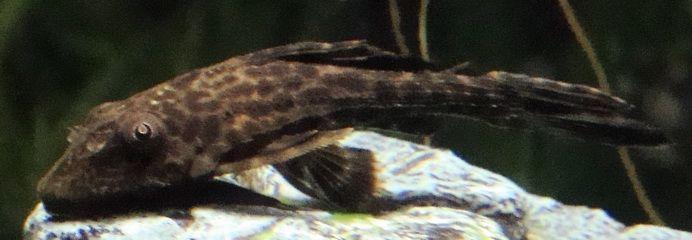 Plecostomus es un gran todo de Fondo ronda - en pH alcalino