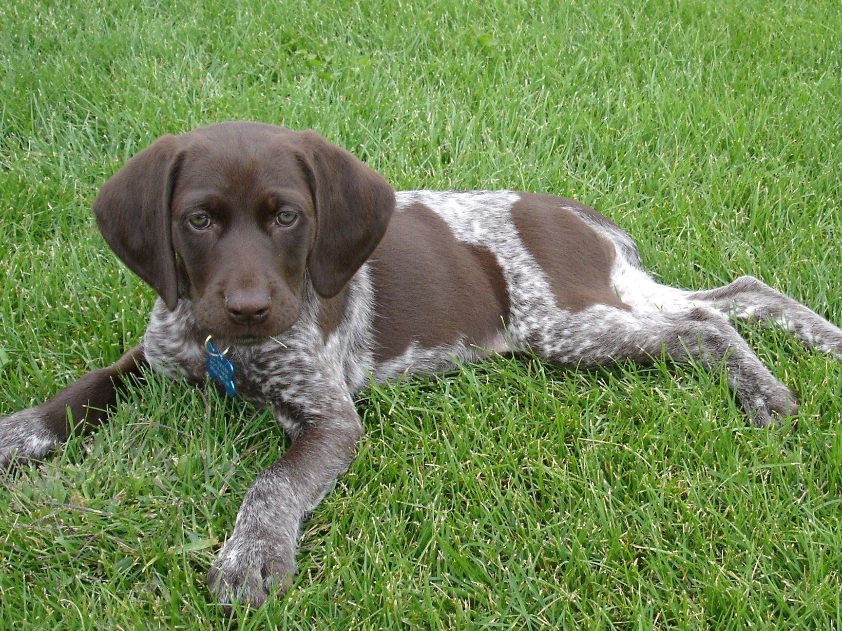 German Shorthair Pointer Pup dogs Pinterest Pointers