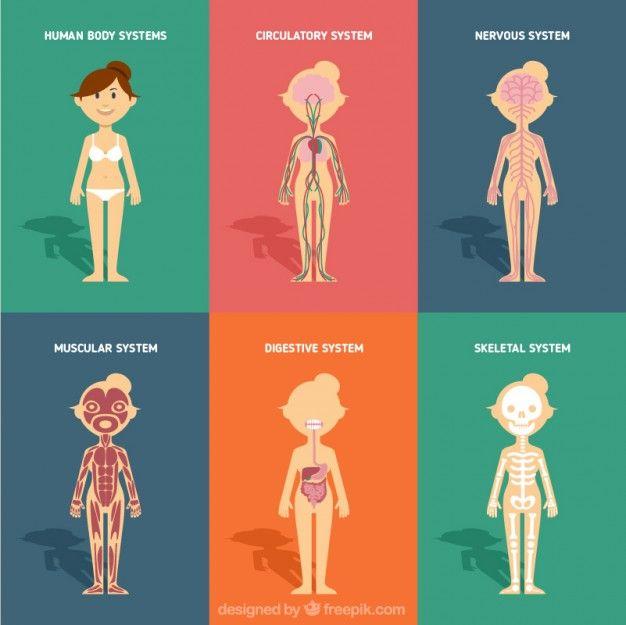 Sistemas de body corporales en diseño plano Vector Gratis | OHP ...