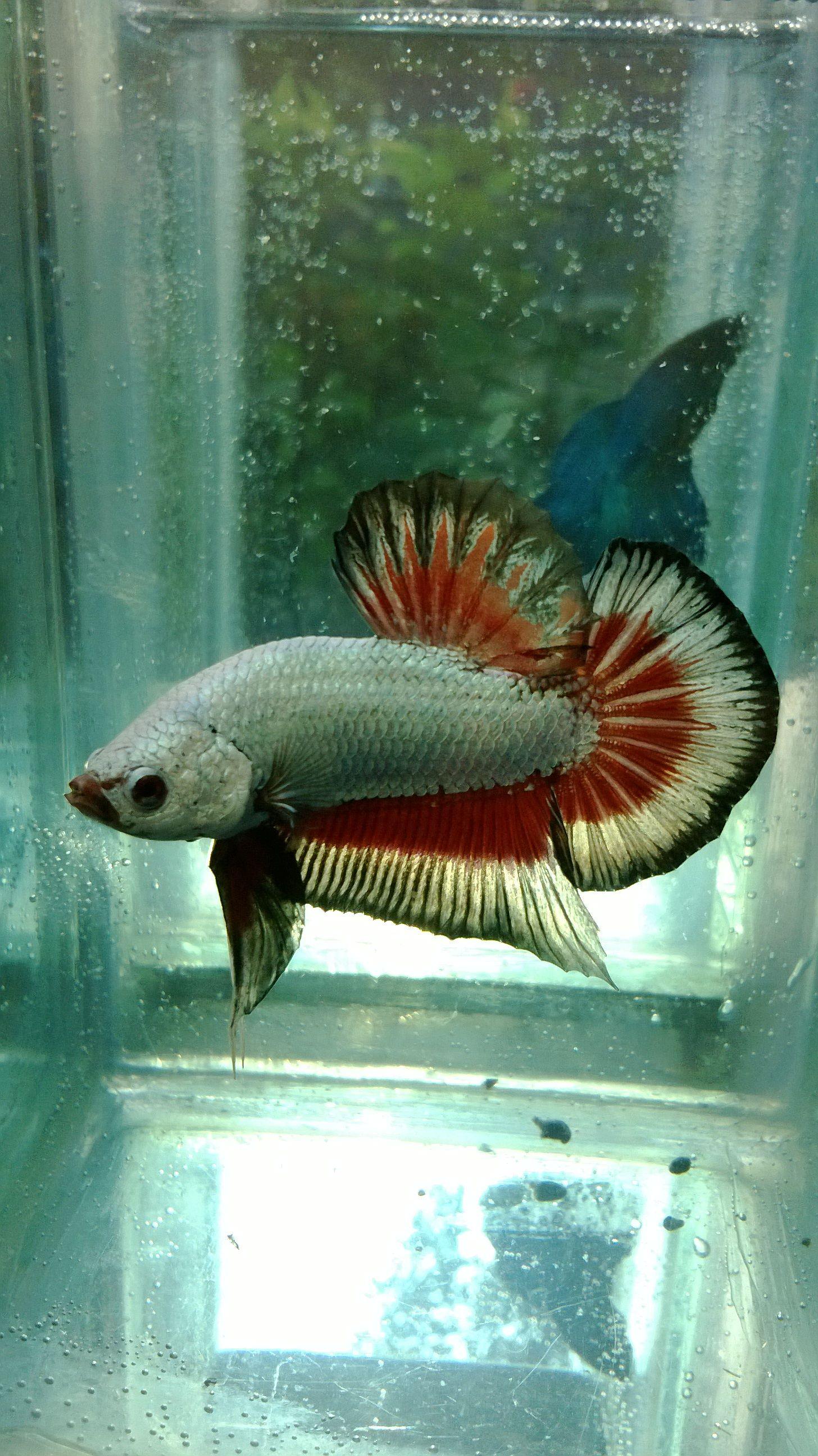 my dragon giant plakat | betta fish | Betta fish, Fish, Tropical fish