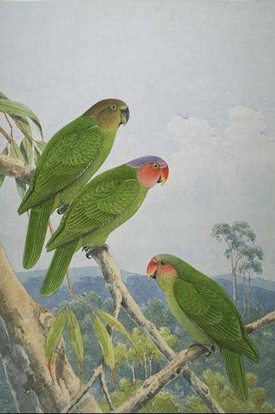 Red-cheeked parrot - Geoffroyus geoffroyi | Australian