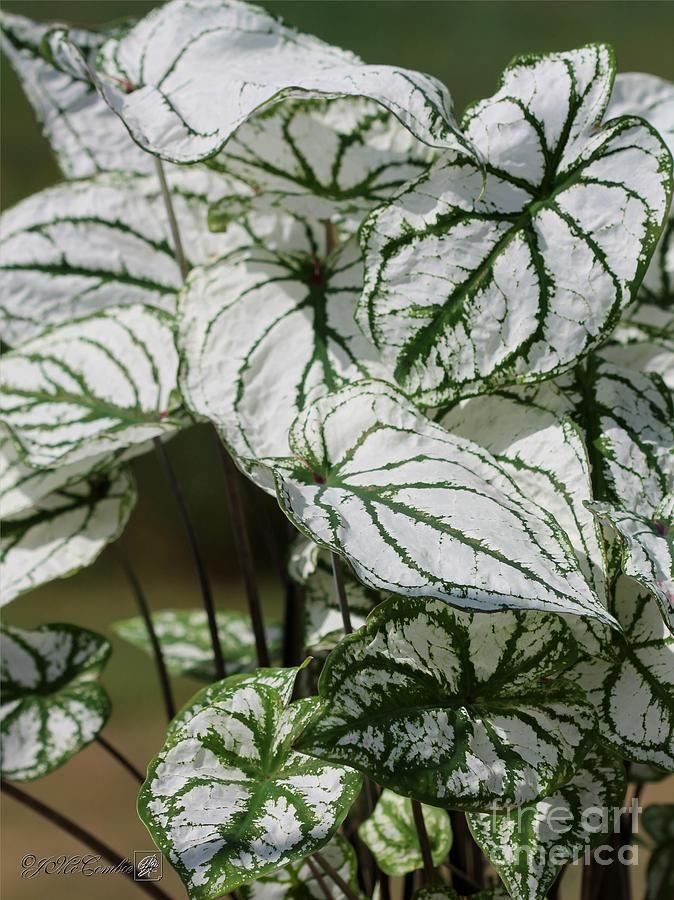 Caladium Named White Christmas Begônias, Plantas perenes