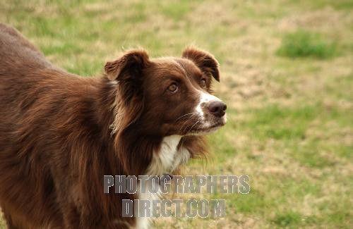 Chocolate And White Australian Shepherd Bing Images Australian Shepherd Dogs Animals