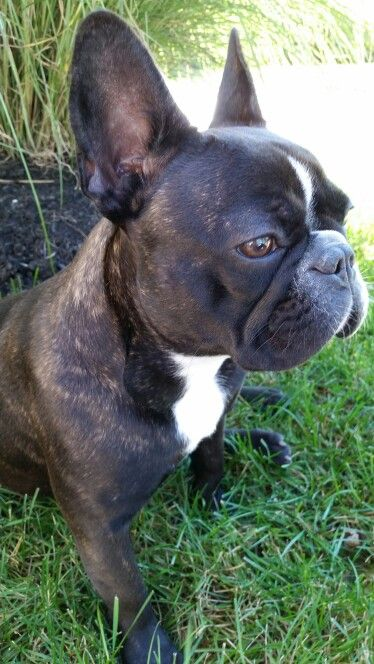 Bella 10 Month Old Brindle Frenchie French Bulldog Brindle