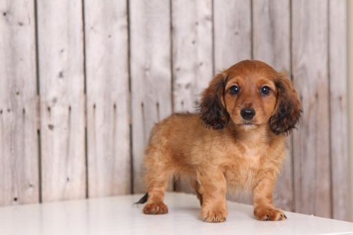 Dachshund puppy for sale in MOUNT VERNON, OH. ADN40244 on