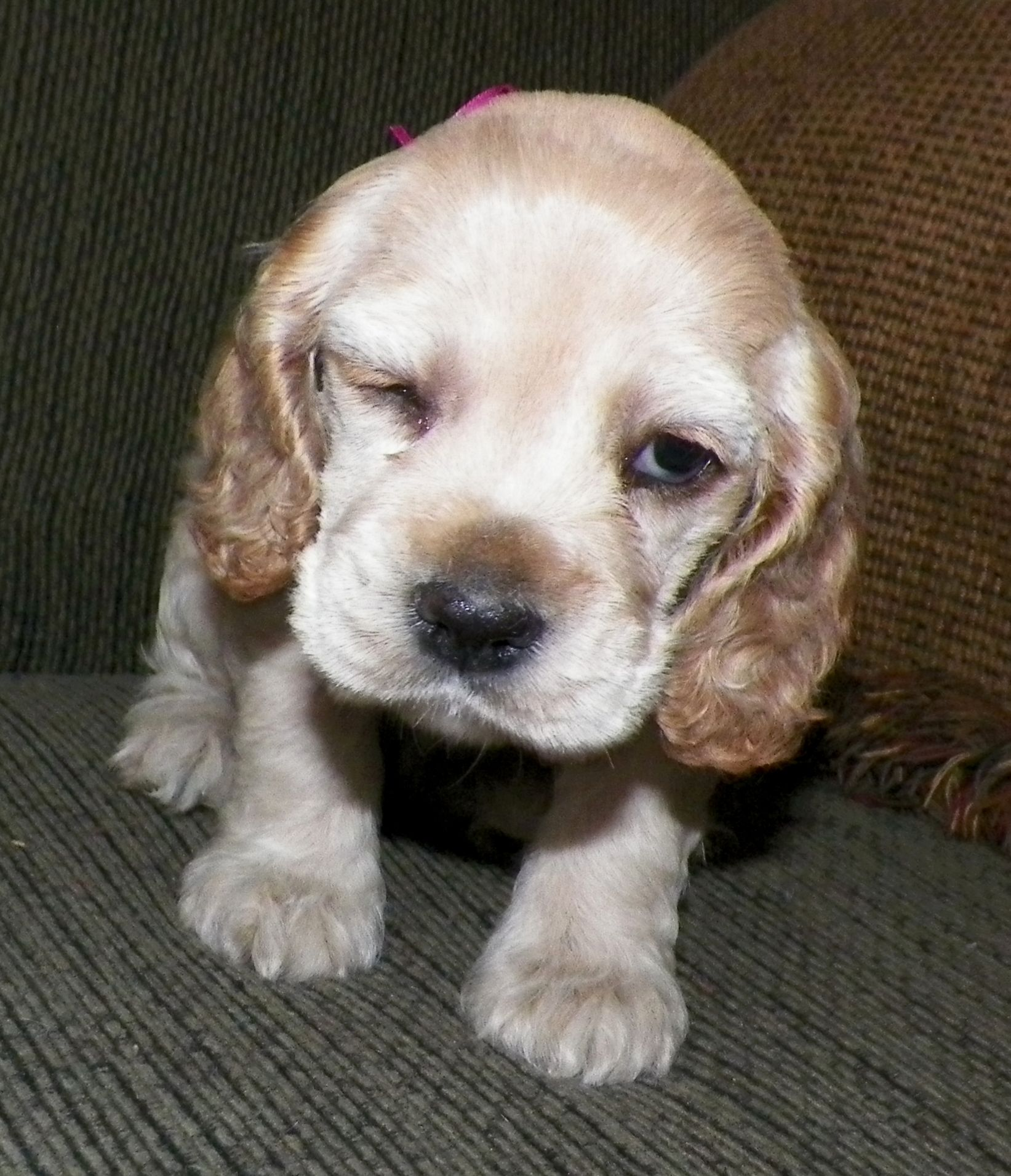 Miss Pink 5 Weeks Old Giving The Camera A Little Wink Cocker Spaniel Puppies Spaniel Puppies Cocker Spaniel