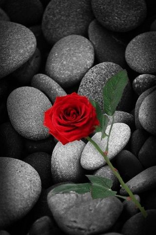 Red Rose On Rocks I Just Love The Contrast It S Like Phantom Of The Opera Red Roses Black And Red Roses Cellphone Wallpaper