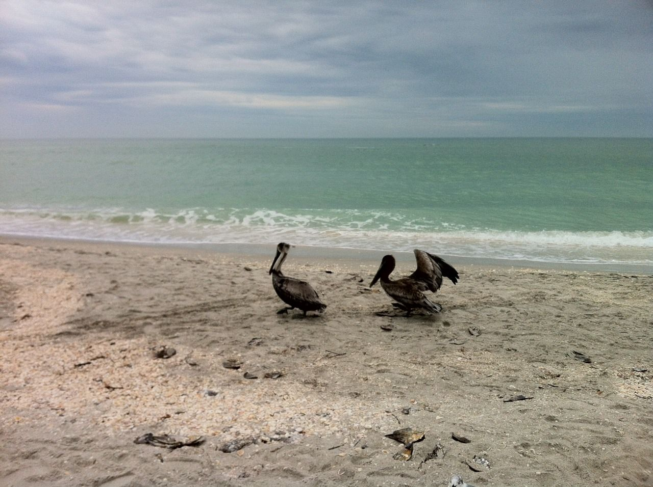 Brown Pelicans Blind P Beach Sanibel Island Florida