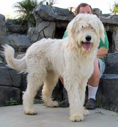 This Is An Irish Wolfhound Mixed With A Standard Poodle They Are