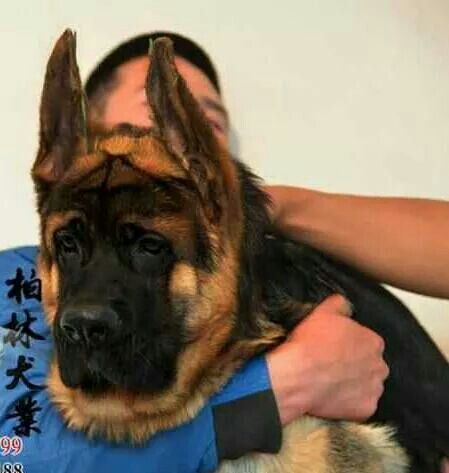 Chinese German Shepherd Mace Bulk Dog Dogs Dog Lovers I